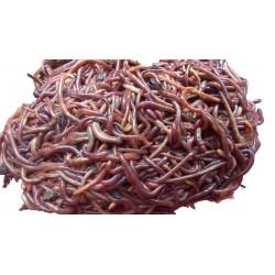Kalifornijske gliste Eisenia Fetida - 0.5L čistih glista